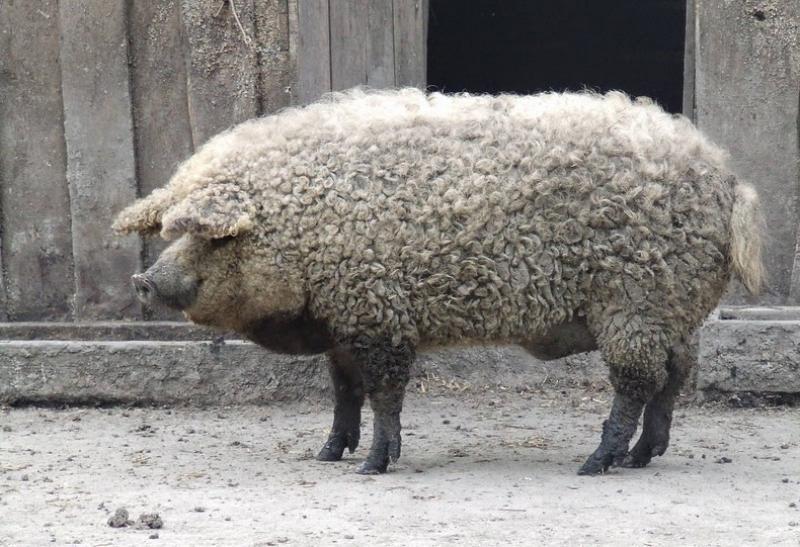 Mangalica, Il maiale che assomiglia a una pecora Mangalica o Mangalitsa &