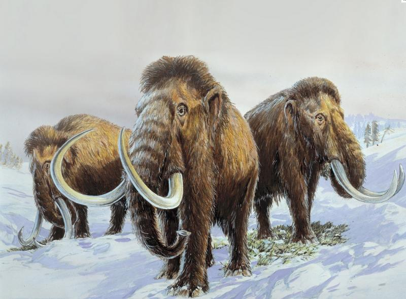 Thousands of prehistoric mammoth tusks are being dug out of the melting permafrost of the Arctic.