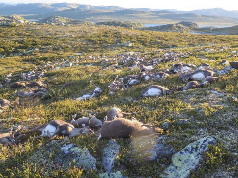 Norvegia, 322 renne uccise da un solo fulmine Oltre 300 renne sono state uccise nel centro della Norvegia da un fulmine: