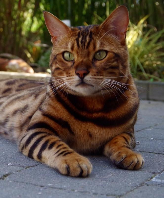 Tiger Cat from bengala